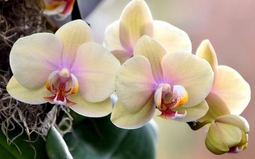 Цветение орхидеи: сколько, когда и как часто цветет орхидея