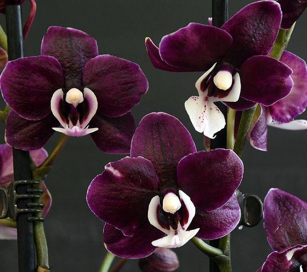 temnaja orhideja kaoda