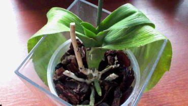 u orhidei vjanut listja