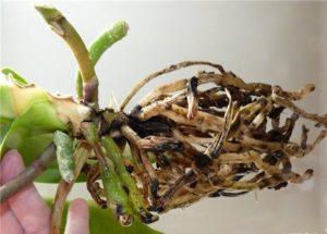 zasohshie korni-orhidej