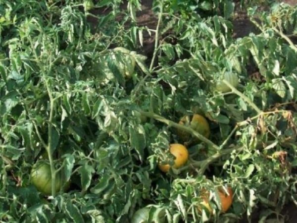 фузариум томатов