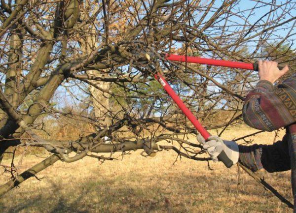 обрезка плодового дерева сикатором