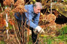 Гортензия - уход осенью, подготовка к зиме: обрезка, подкормка, пересадка