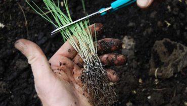 Лук-порей является очень полезной для здоровья человека овощной культурой. Некоторые дачники считают, что выращивать репчатый лук