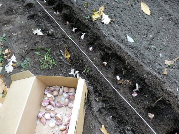 посадка чеснока в грунт