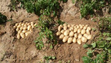 описание картошки Чародей