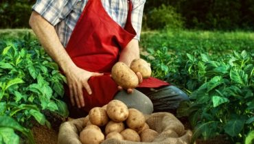 как вырастить картофель во время дождливого лета