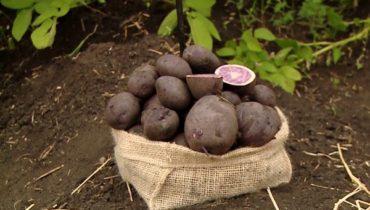 отзывы о фиолетовом картофеле