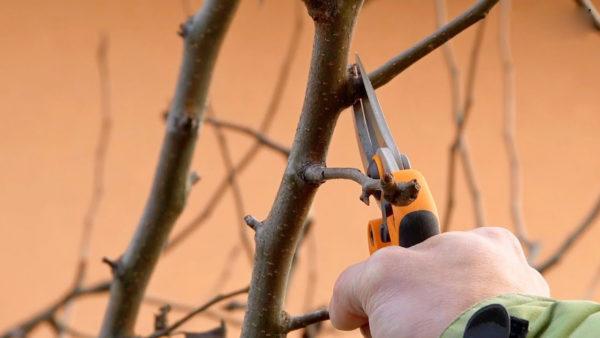 Правила выращивания айвы осенью
