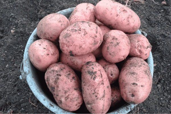 Картофель хозяюшка описание сорта фото