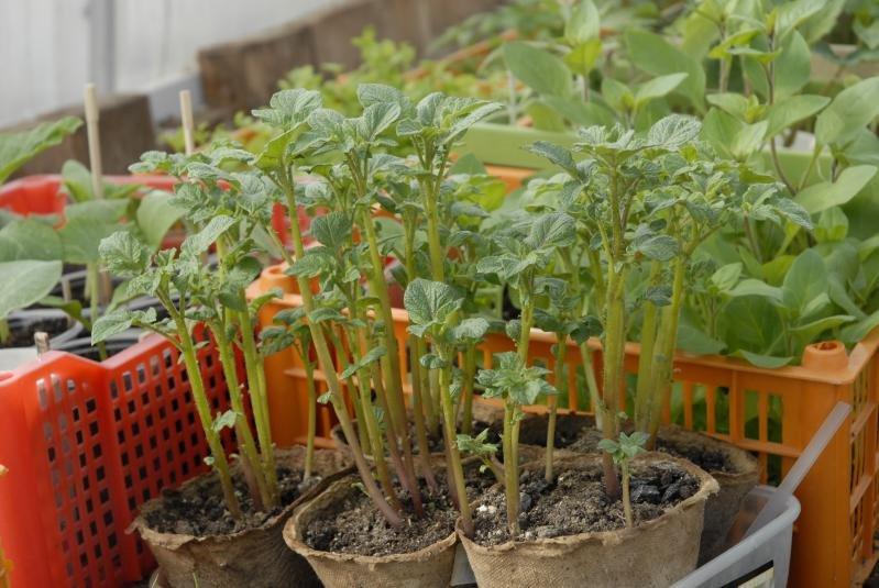 Картофель Из Семян В Домашних Условиях