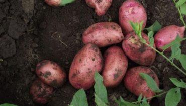 характеристика картофеля Каменский