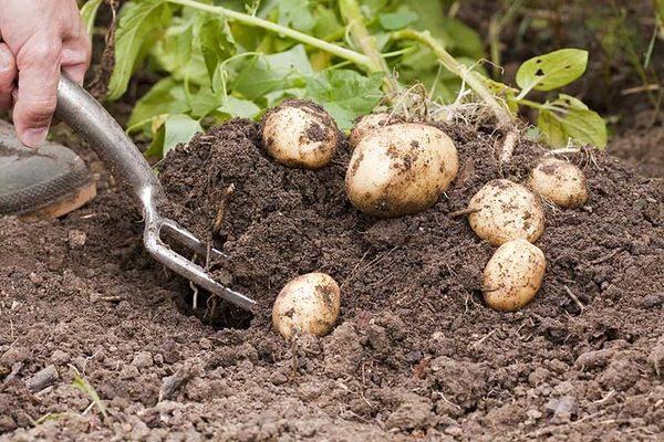 Сорт картофеля луговской