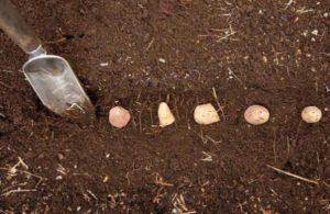 kartofel v lunkah