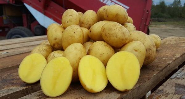описание картофеля Янка