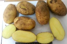 Сорт картофеля Зорачка