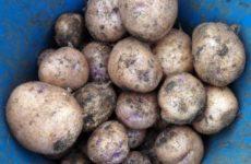 Картошка Синеглазка