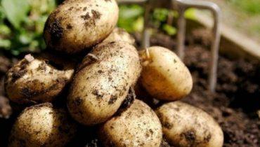 сроки сбора молодого картофеля