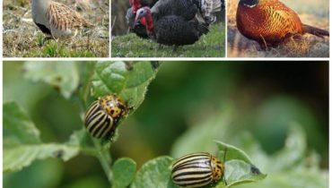 Птицы едят колорадского жука