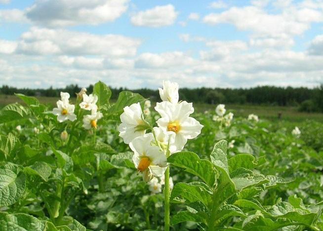 Обработка Картофеля Во Время Цветения