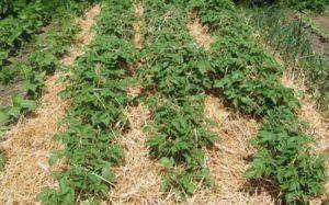 Как правильно выращивать картофель под соломой