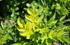 причины пожелтения листьев картофеля