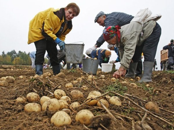 Посадка и выращивание картофеля под соломой или сеном, в мешках, в грунте, в бочках: технология и методы