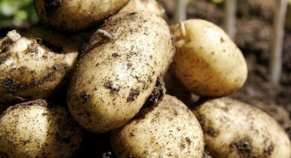 Описание сорта картофеля Ласунок его характеристика и урожайность