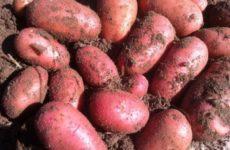 сорт картофеля Ред Леди