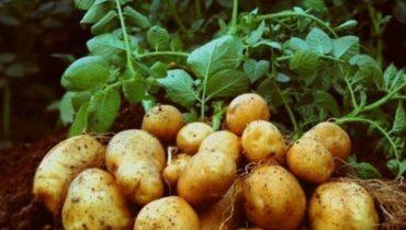 характеристика картошки Елизавета