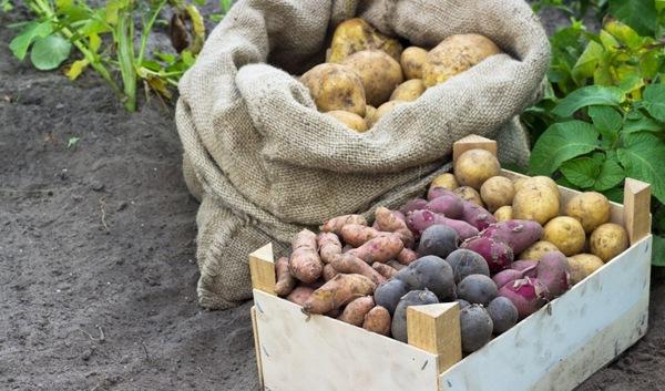 названия сортов картофеля