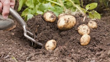 Срок Созревания Картофеля