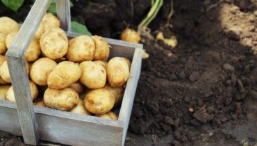 агротехника выращивания клубней картофеля