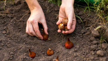 Интерес в лунному календарю посадки тюльпанов осенью 2019 года, с таблицей и сроками высадки луковиц в благоприятные дни осени, когда сажать тюльпаны безопасно