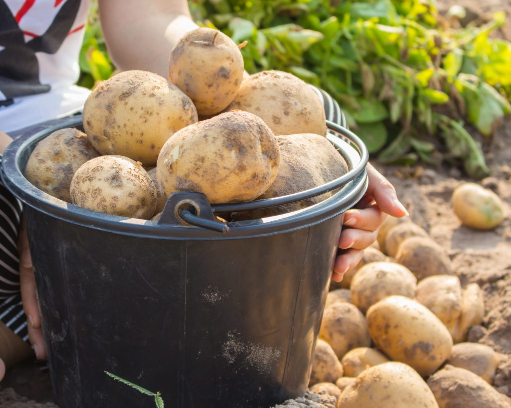 Сорт картофеля Тимо