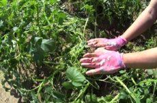 веерное окучивание картошки