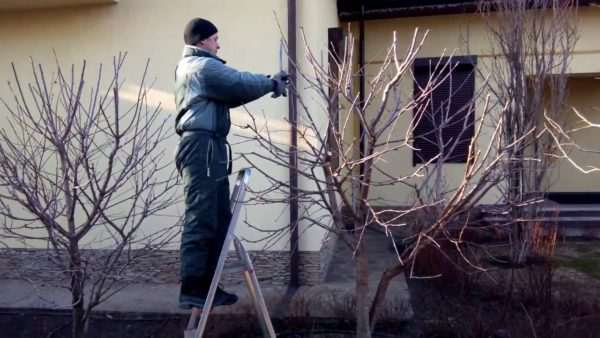 формирование кроны вишни
