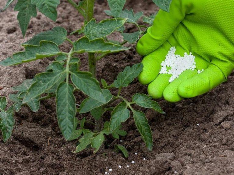 как правильно подкормить рассаду томатов фосфором