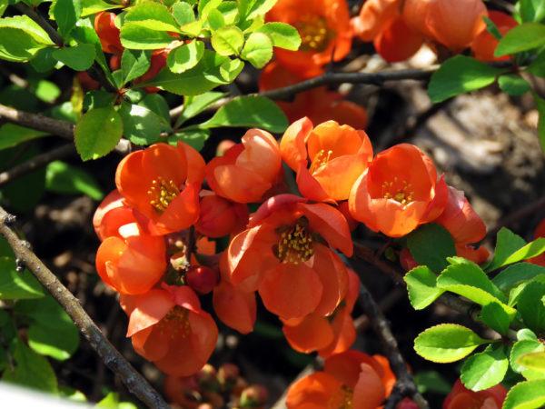 цветущая айва