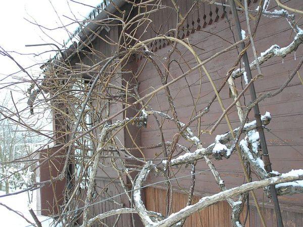 актинидия зимой