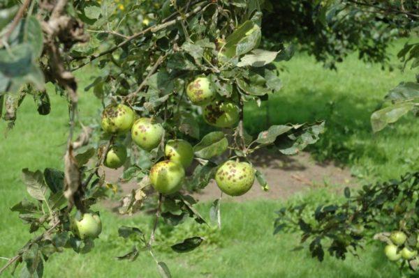 яблоня в парше