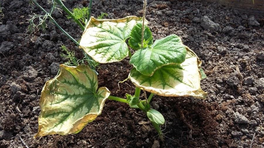 белеют листья у огурцов