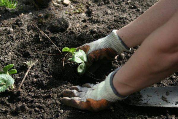 Посадка клубники осенью: когда и как посадить в открытый грунт