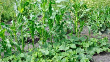 Посадка огурцов с кукурузой