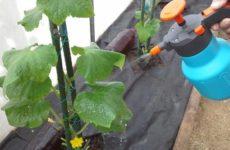 как подкармливать огурцы сывороткой