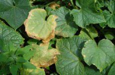 почему сохнут листья у огурцов