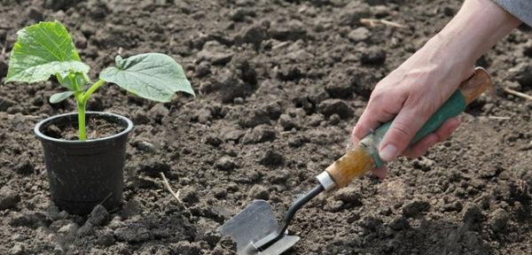 правила высадки огурцов в грунт