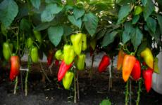Болгарский перец: с чем можно сажать рядом, а с чем нет, правила соседства