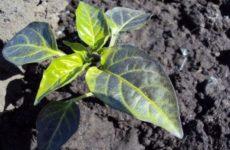 Что делать если у перца фиолетовые листья: причины, методы лечения, профилактика, фото