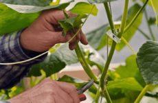 Как правильно прищипывать огурцы в открытом грунте: пошаговая инструкция с фото